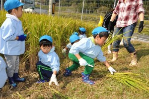 2015 稲刈り