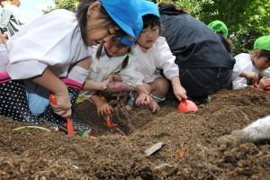 2015 お芋掘り2