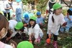 2015 お芋掘り1